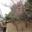 河津桜をちょっとだけ