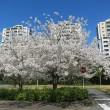 満開の桜、独り占め