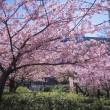 「河津桜」満開
