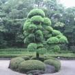 千葉県の木「マキ」