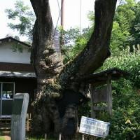 img959槐の木